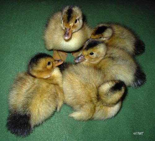silver appleyard ducks