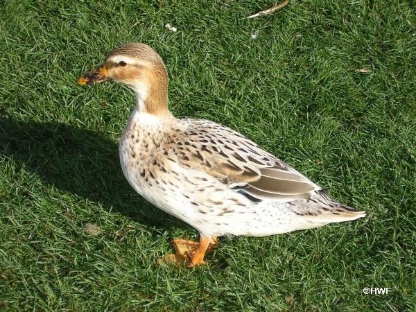 australianspotted_ducks