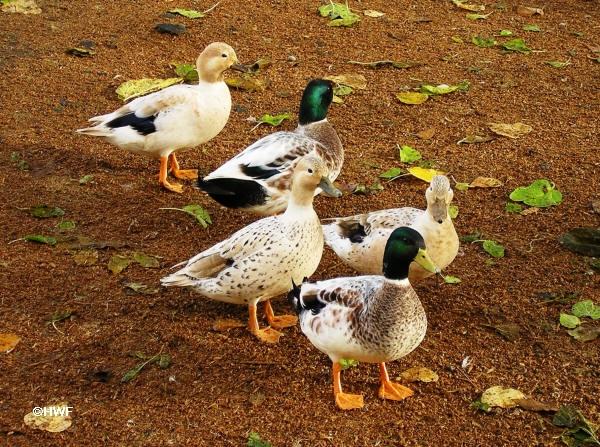 minisilverappleyard_ducks